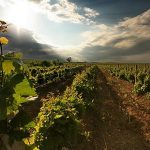 Los vinos uruguayos una herencia especial que se consolida