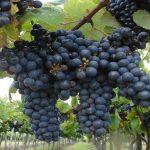 Distintos tipos de uvas en Uruguay: Calidad y variedad